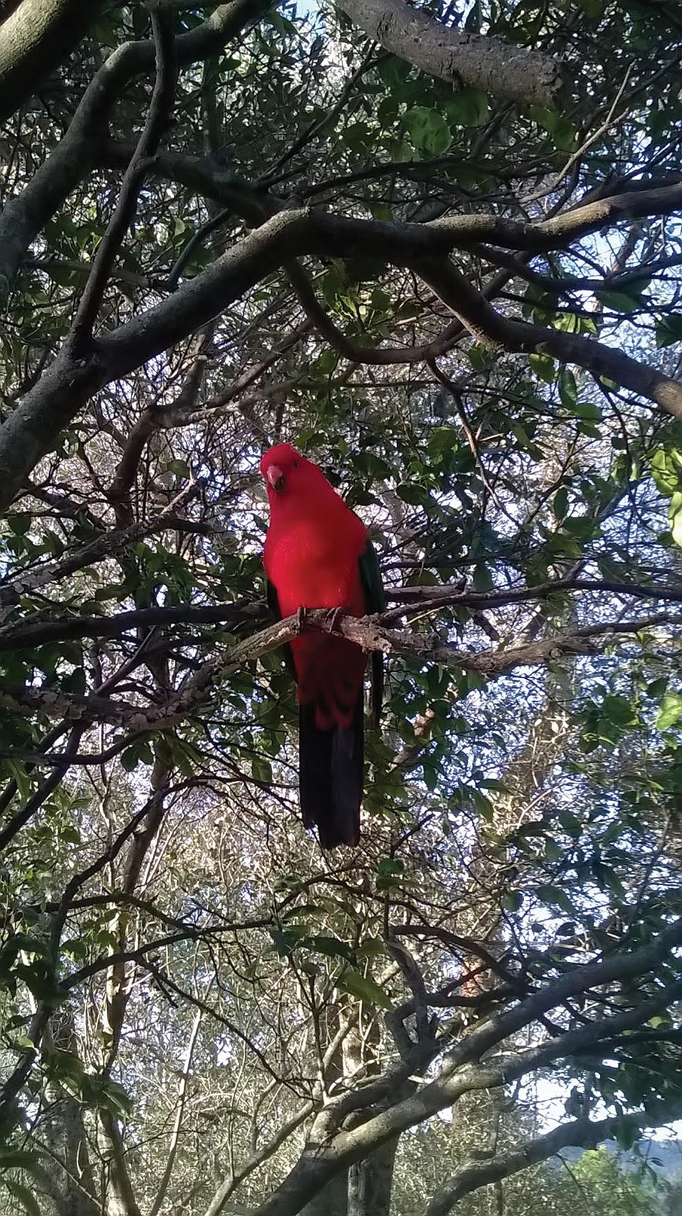A King Parrot