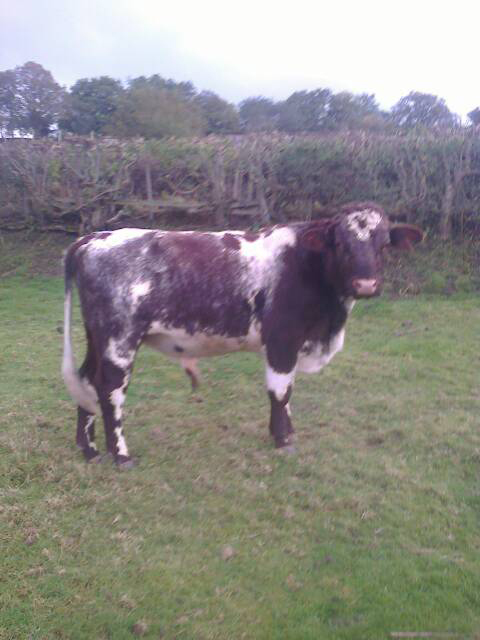 dairy shorthorn cattle for sale