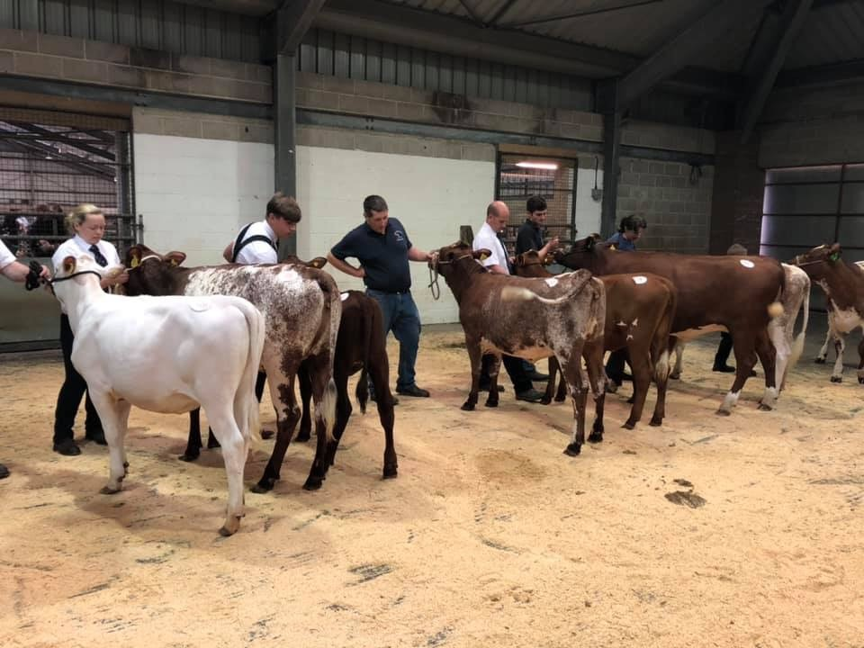 Large class of maiden heifes with Lot 38 Cotonhall Joyland Cornelia placed 1st Lot 35 Oxton Ironman Wildeyes 956 2nd