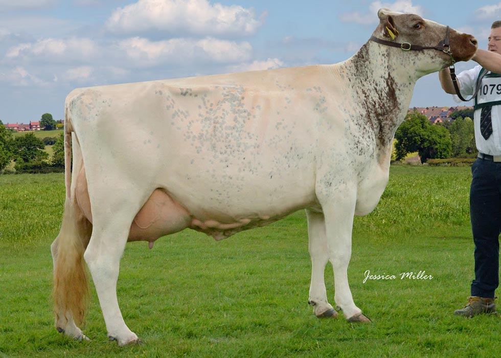 Great Yorkshire Show Champion: Churchroyd Peggy 19, by Marleycote Maverick