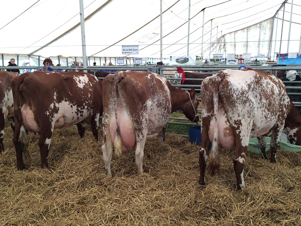 Champion: Strickley Fillpail 12 (Right); Reserve Champion: Strickley Barrington Dot 21 (Middle); Honourable Mention & Junior champion: Winbrook Peerees Rose 19 (left)